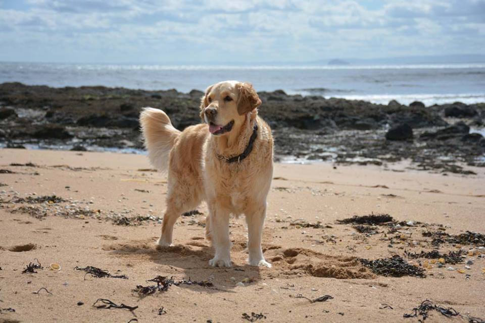 A beach in Fife with a Golden Retriever on it